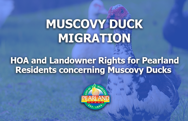Muscovy Duck Migration - What Pearland Residents Should Know
